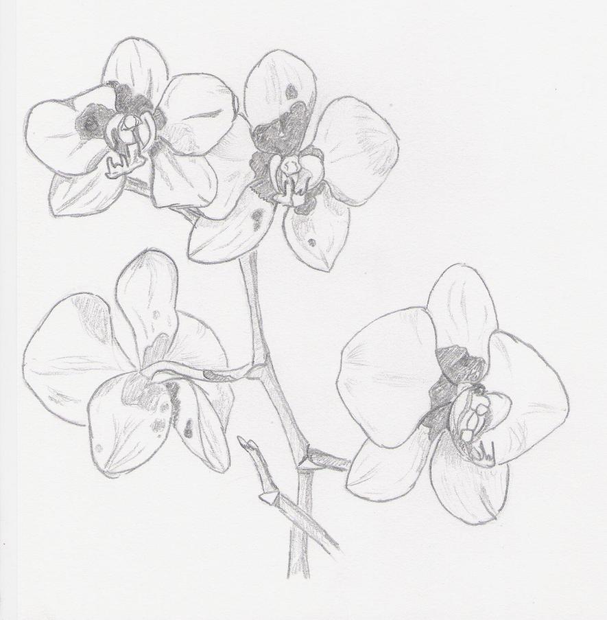 Pics Photos - Orchid Sketch Pencil Drawing
