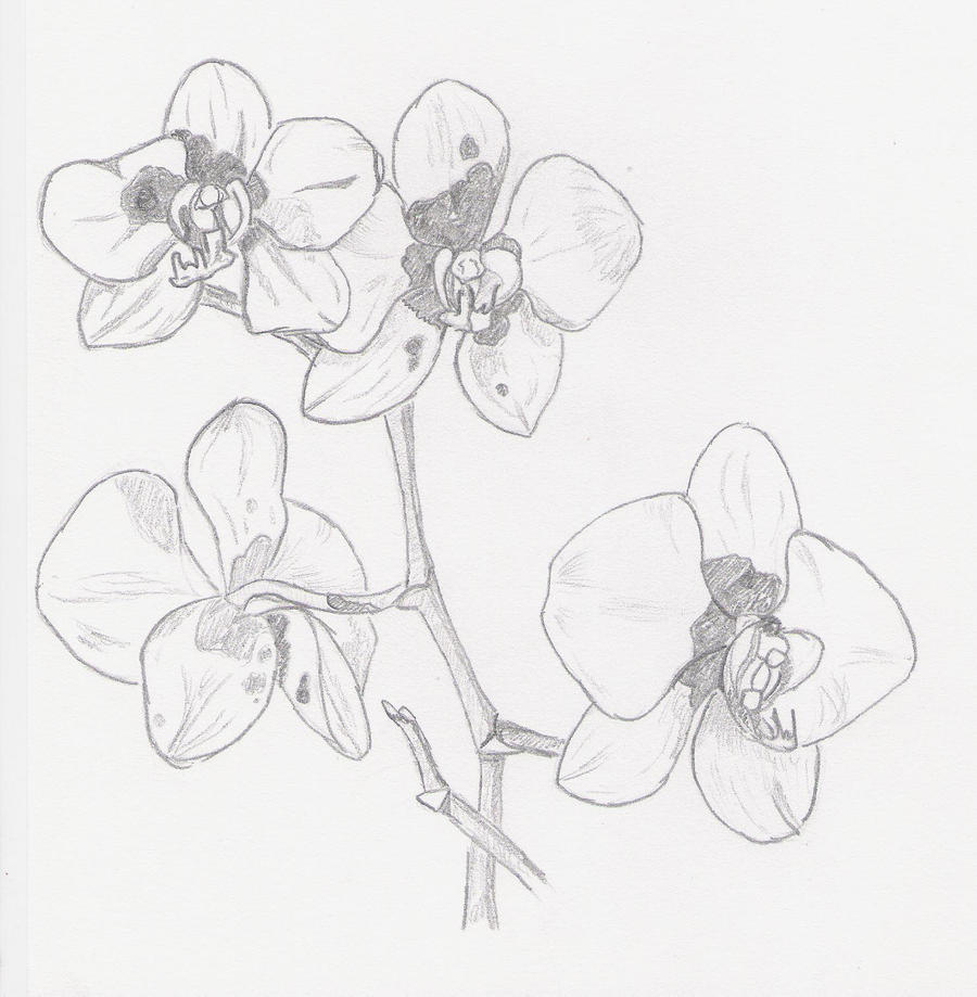 Orchid Flower Line Drawing : The gallery for gt sketches of orchids