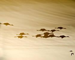 Sand Hill Cranes Silhouette by Gryz