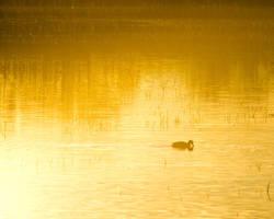 Duck Silhouette by Gryz