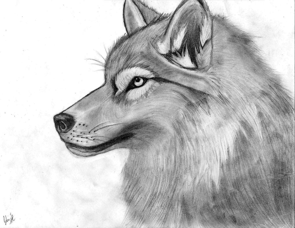 Wolf Pencil Sketch by Pencil Drawings Of Wolves Faces