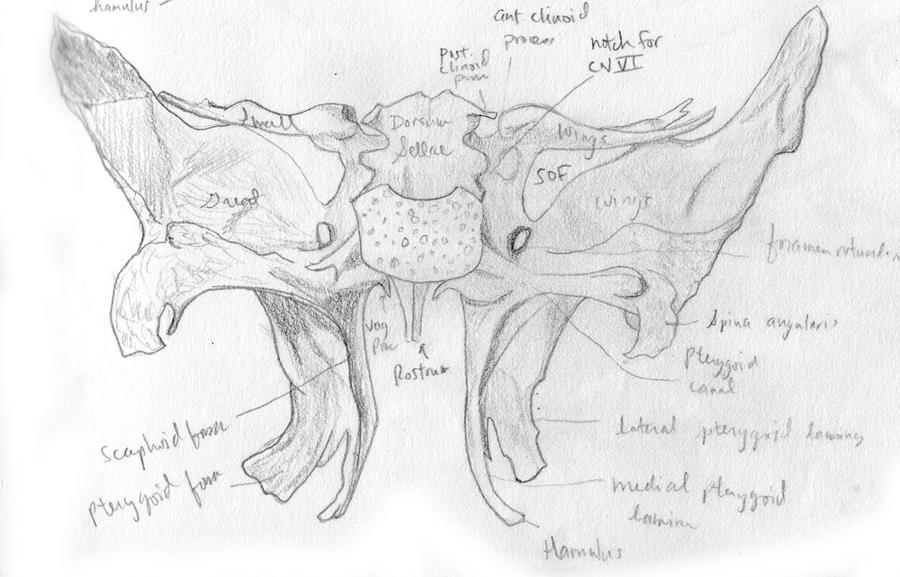 Sphenoid bone posterior by kitsunepixie on DeviantArt