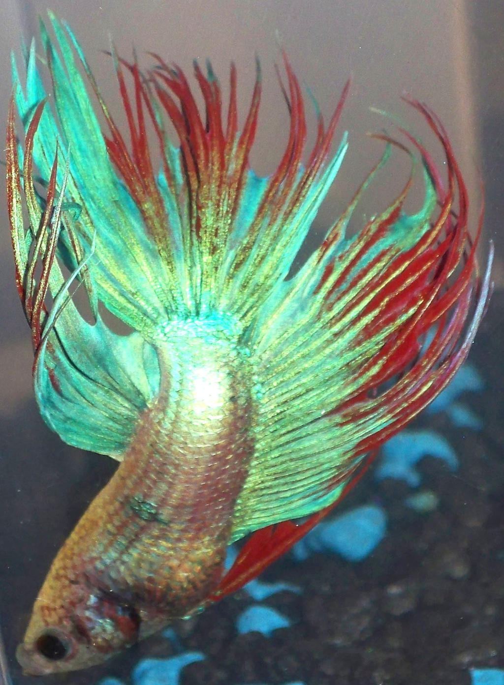 Crowntail betta 9 by pimppistol on deviantart for Crowntail betta fish