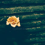 A Rose by sojabean