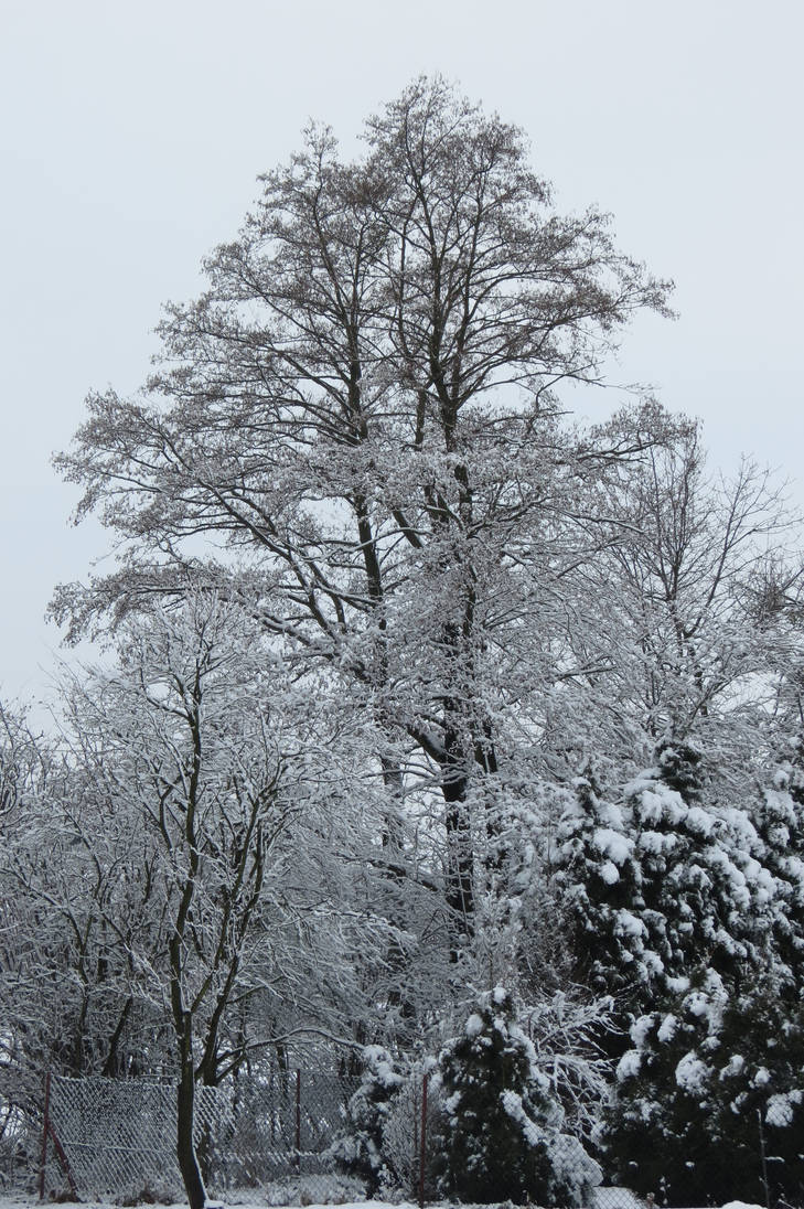Snow-covered tree by loozak84