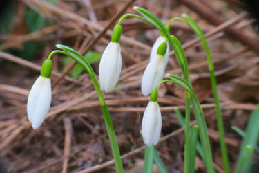 Snowdrops 1 March 2019 by loozak84