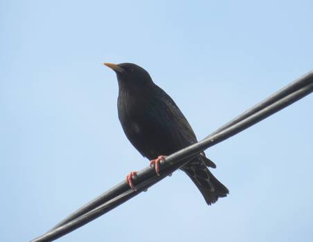Kos - Blackbird