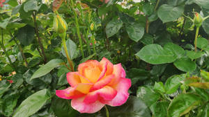 Yellow-pink rose 2