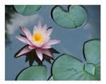 Lilly Pad Pond