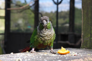 Green Cheek Conure at Tropical Birdland by Tiestarian
