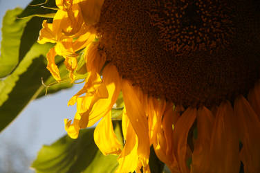 Sunflower by rissdemeanour