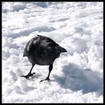 Winter Raven by rissdemeanour