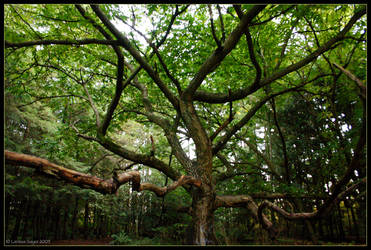 Grandfather Tree by rissdemeanour
