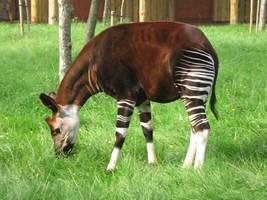 Okapi by Chikiya