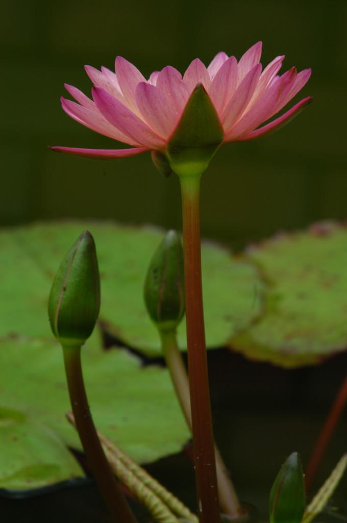 Bunga Teratai Again By Belle85 On Deviantart