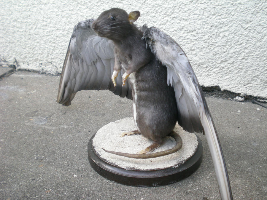 Winged Rat by Taxidermy-novice