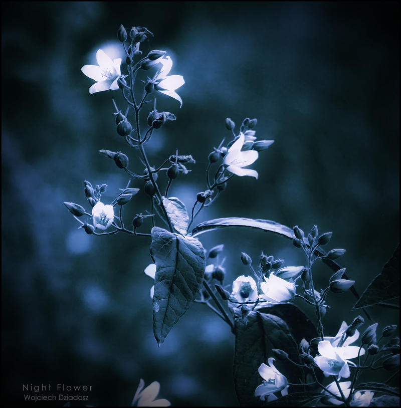 Night Flower by WojciechDziadosz