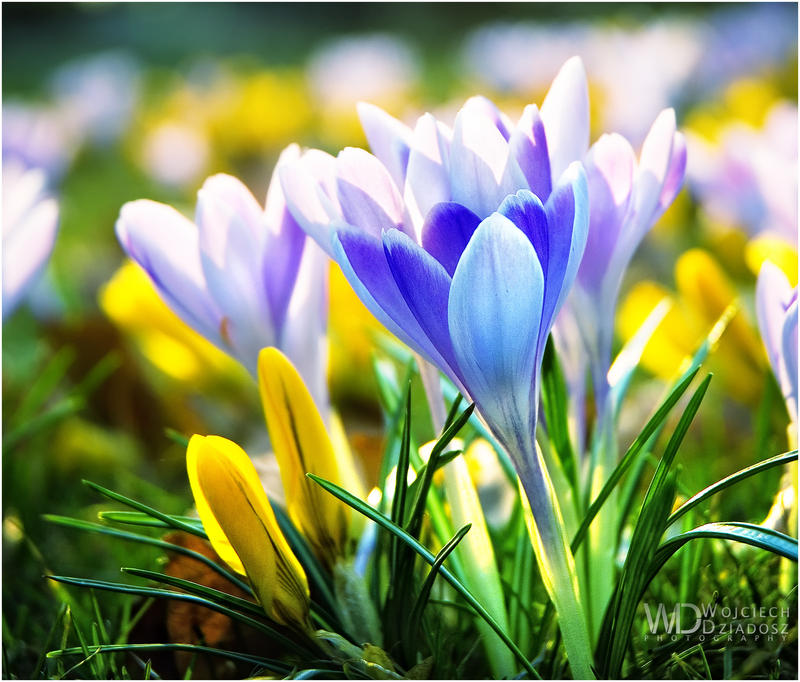 Дорогие читатели.  Я дарю вам эти великолепные, прекрасные, нежные весенние цветы.