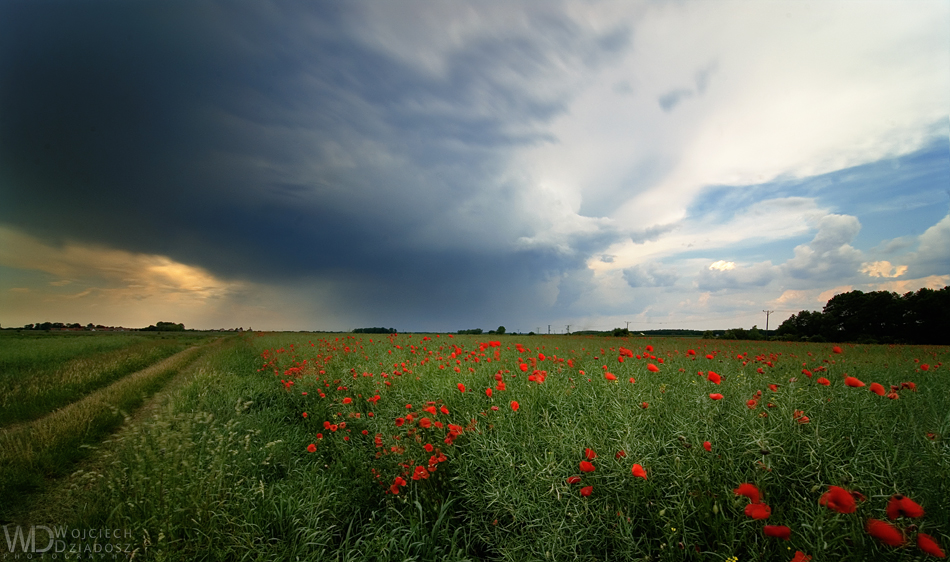 Field of poppies by WojciechDziadosz