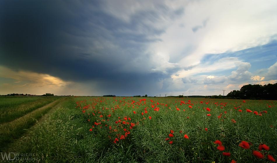 Field of poppies by WojciechDziadosz