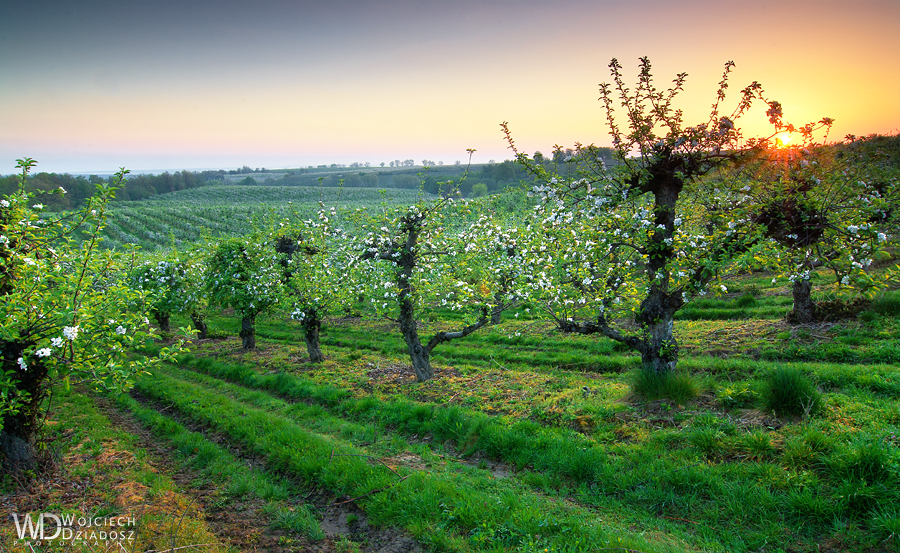 Orchard in the morning by WojciechDziadosz