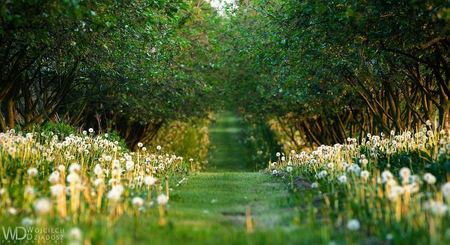 Alley of dandelions by WojciechDziadosz