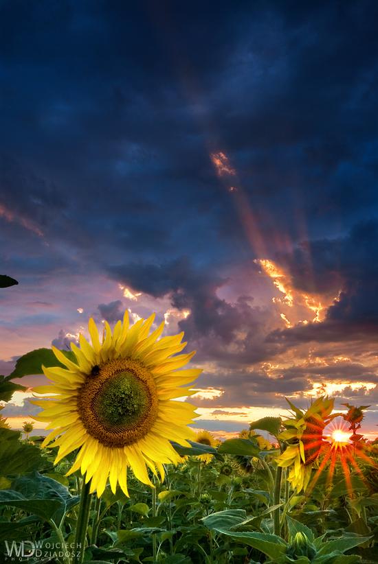 Sunflowers by WojciechDziadosz