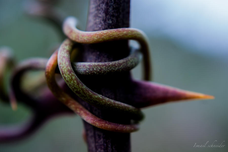 Tendril Wrapped Around a Spiky Branch