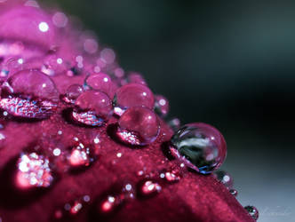 Rose Droplets by isischneider