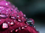 Rose Droplets
