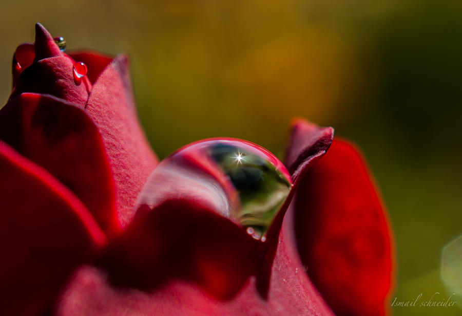 Rose Dew drops by isischneider