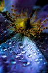 purple blue Morning Dew