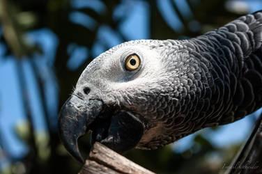 Grey Parrot by isischneider