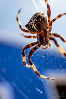 Cross Spider by isischneider