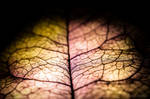 Dry bougainvillea petal