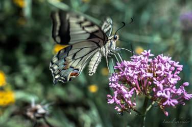 Old World Swallowtail by isischneider