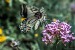 Old World Swallowtail by isischneider