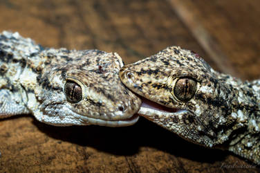 Gecko Bite by isischneider