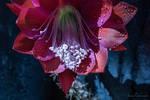 Orchid Cactus Flower by isischneider