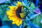 Opening Sunflower