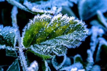 Frozen Leaf by isischneider