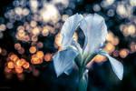 Iris Sunset by isischneider