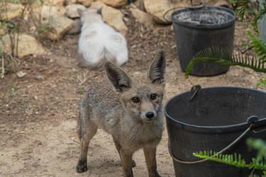 Fox And Cat In The Garden
