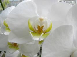 orchid macro by bitstarr