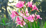 Morning Bloom by ColinSydney