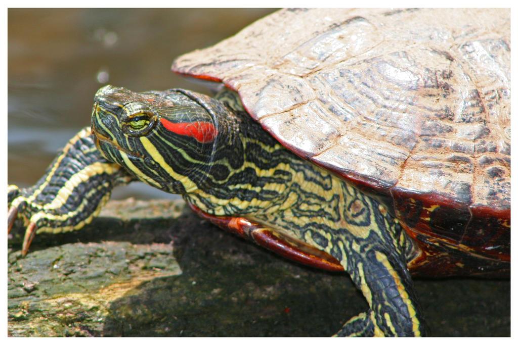 Молодая красноухая черепаха