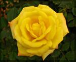 Yellow single