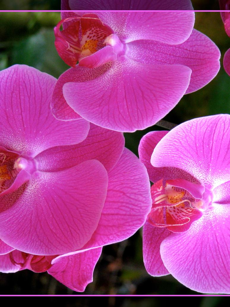 Pink Phalaenopsis orchid by maska13