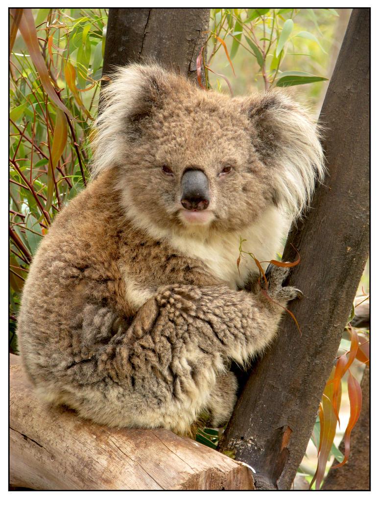 Good morning, Koala! by maska13