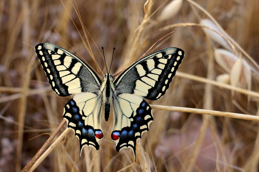 Swallowtail by maska13